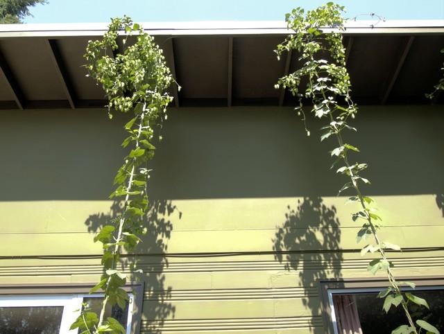 hops.jpg midcentury-landscape