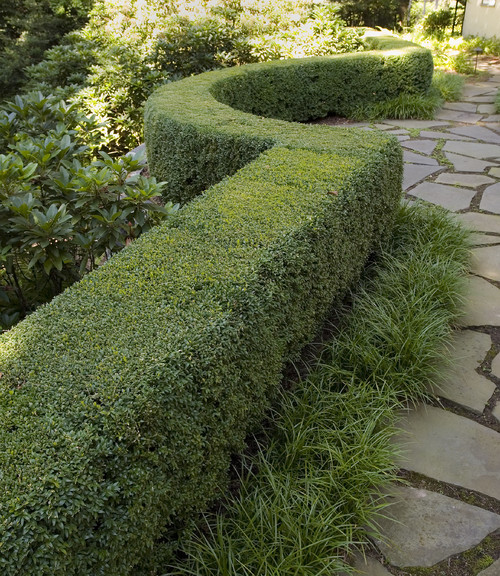 Lawn Hedges: What Species Of Boxwood Is This? Also What Is The Name Of