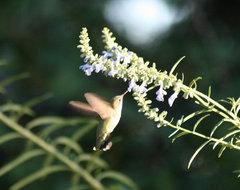 Hummingbird on Nekan Sage.JPG traditional-landscape