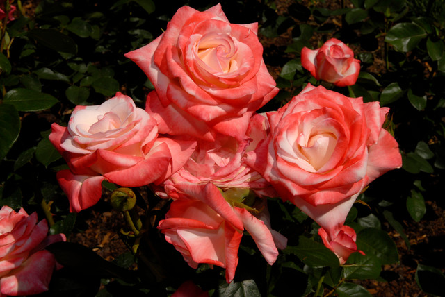 hybrid tea rose traditional-landscape