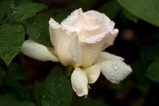 Hybrid Tea Rose Traditional Landscape New York By