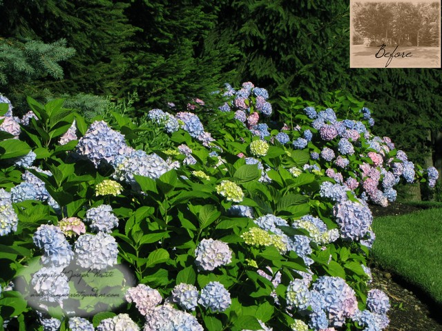 Hydrangea planting traditional landscape new york for Garden designs with hydrangeas