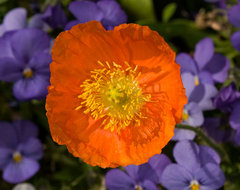 Iceland poppy traditional landscape