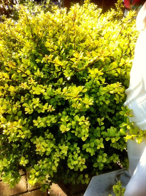 traditional landscape Ilex crenata 'Golden Gem'