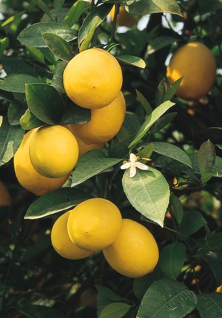 There S A Lot To Love About Meyer Lemon Tree