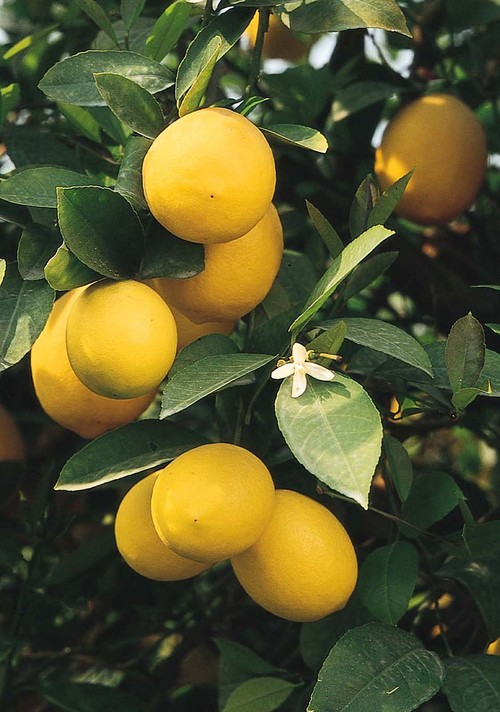 Improved Meyer Lemon tropical landscape