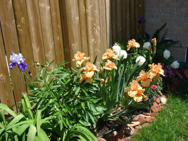 Iris garden traditional-landscape