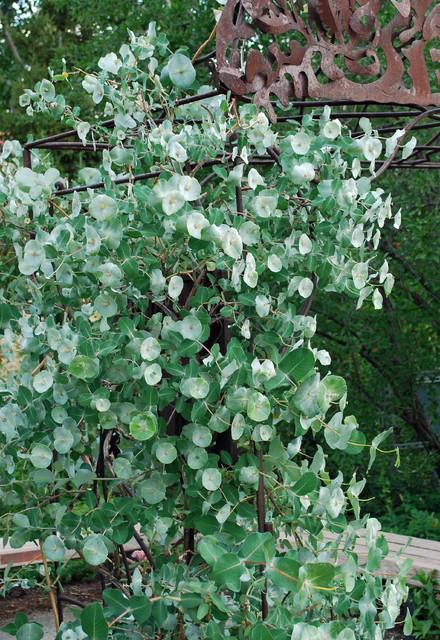 Kintzley's Ghost honeysuckle, Lonicera reticulata 'Kintzley's Ghost' contemporary-landscape