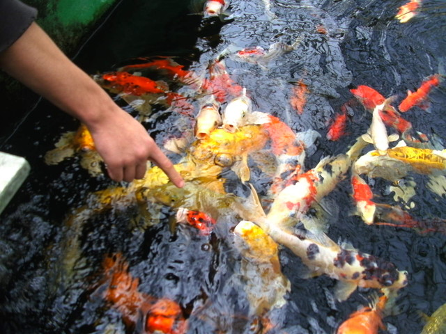 Koi Pond Building tropical-landscape