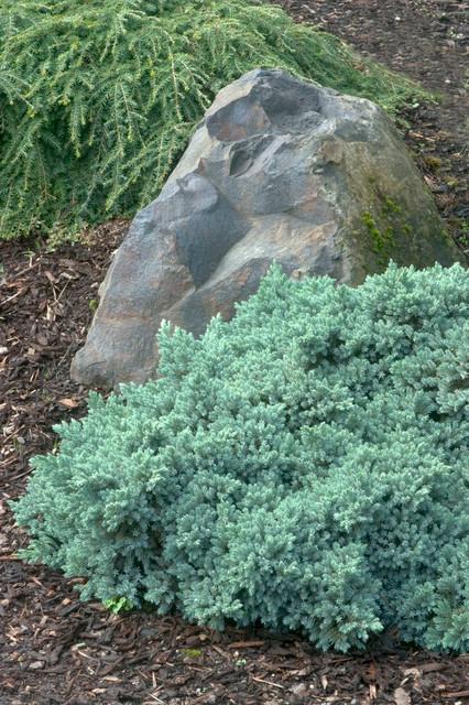 Blue Star Juniper Juniperus Squamata Blue Star