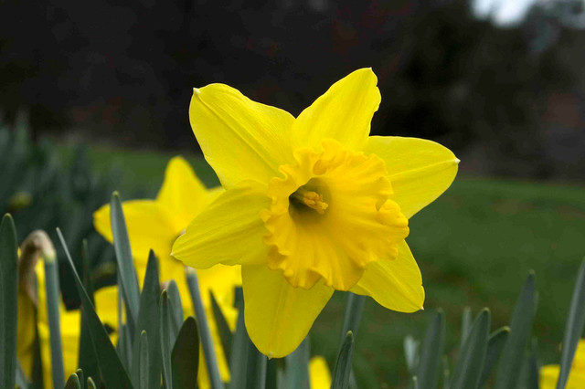 Large Cupped Daffodil Traditional Landscape New York