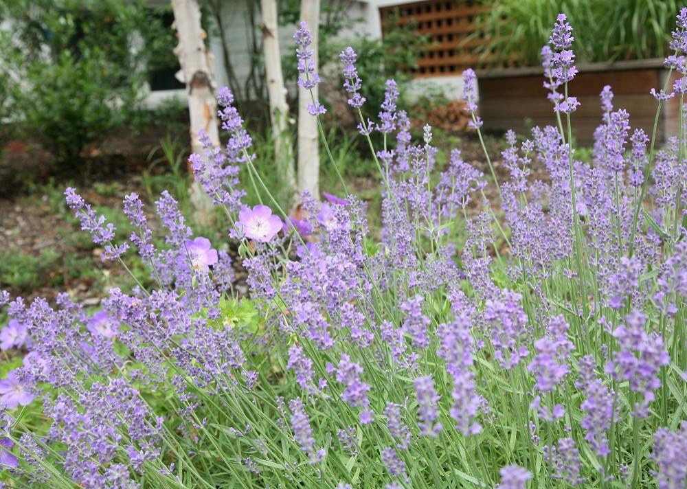 Lavender munstead, Rozanne geranium, Heritage river birch