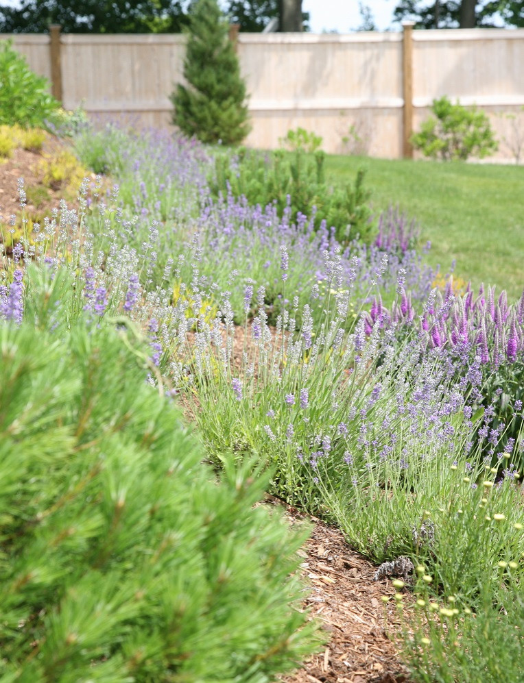 Lavender, santolina, veronica, mugo pine, heather