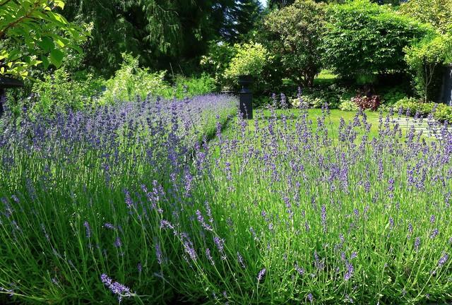 lavenders 2 traditional-landscape