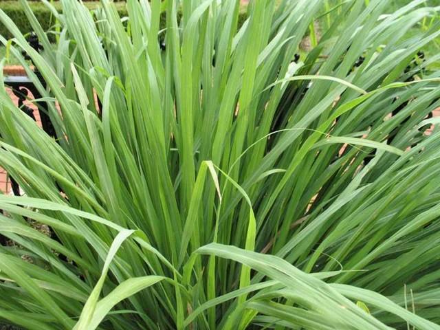 lemon grass traditional-landscape