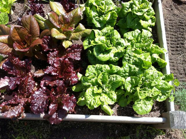 Lettuce bed landscape