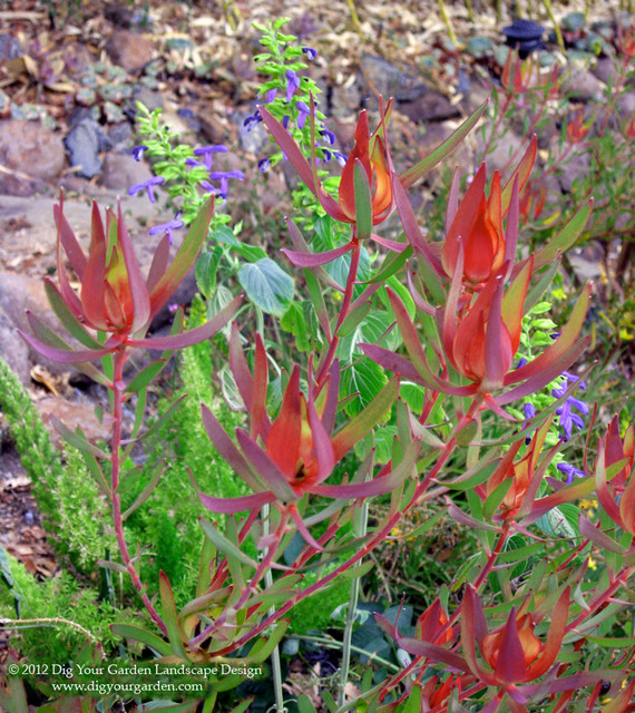 Leucadendron Summer Red A Favorite Drought Tolerant