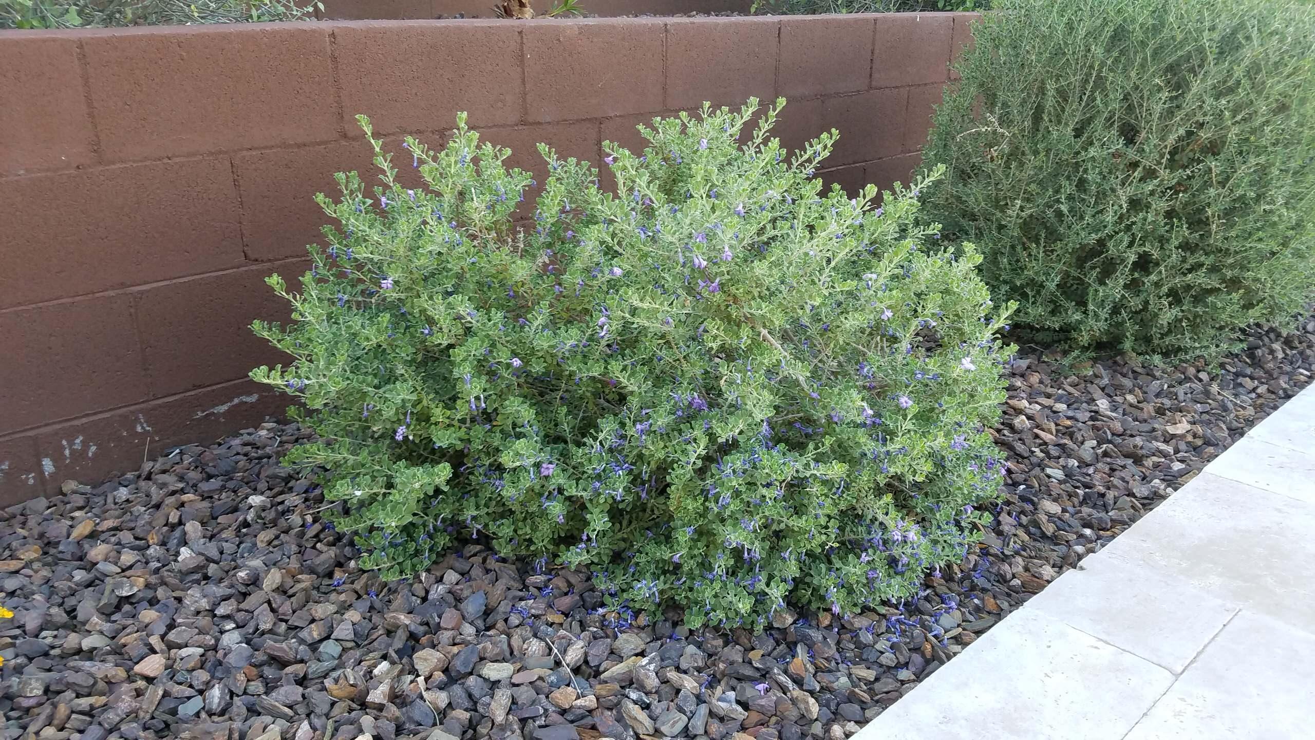 Leucophyllum langmaniae_ Texas Sage 'Lynn's Legacy'
