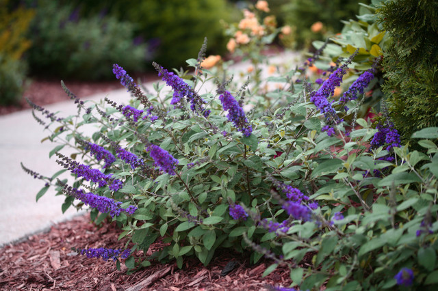 Lo Behold Blue Chip Jr Butterfly Bush Eclectic