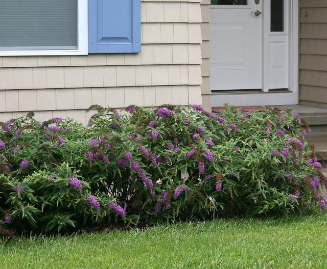 Lo Behold Purple Haze Butterfly Bush Eclectic