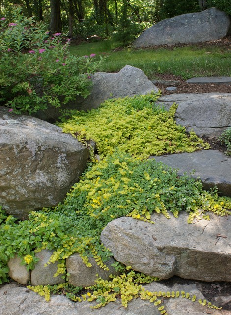 Great Design Plant Golden Creeping Jenny, Is Creeping Jenny A Good Ground Cover