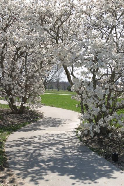 Magnolia stellata (Star magnolia) traditional-landscape