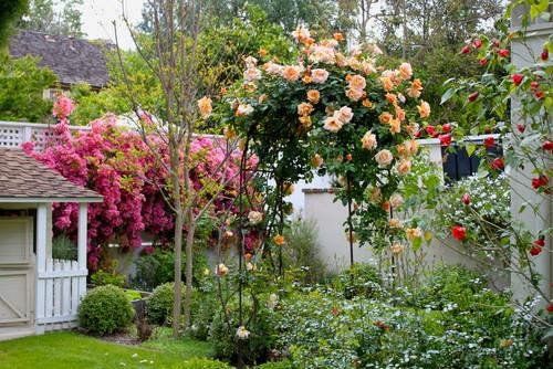 What variety are tje peach orange climbing roses on arch trellis - Climbing rose trellis ...