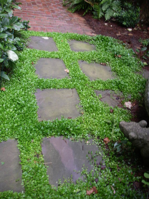 Mazus Ground Cover Between Stepping Stones Blooms Blue In