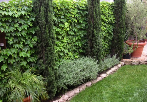 Is That Virginia Creeper On The Wall Fence