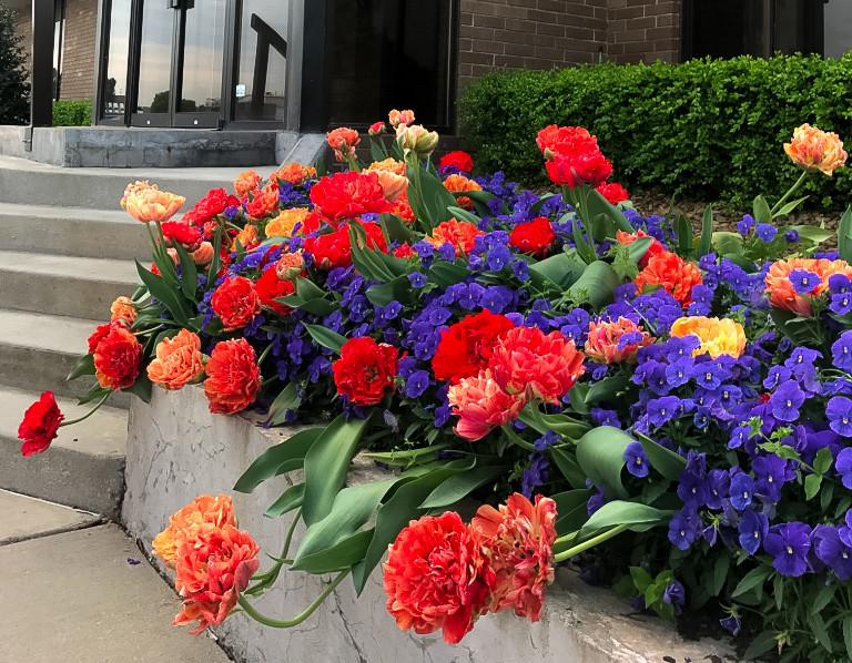 MG Tulips