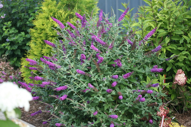Miss Violet Butterfly Bush Buddleia Eclectic