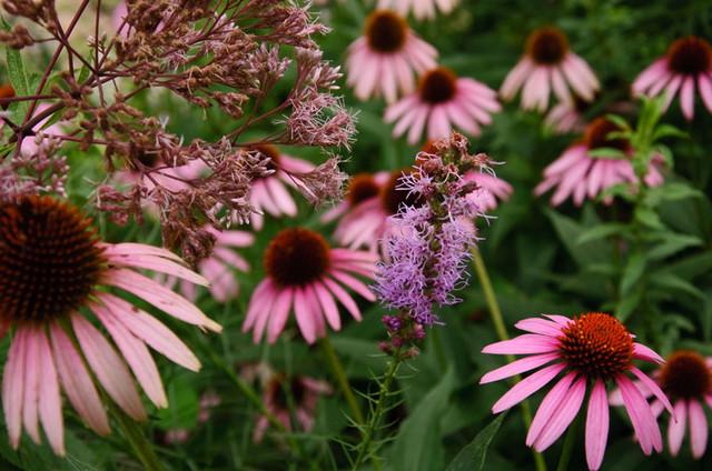 native prairie plants garden