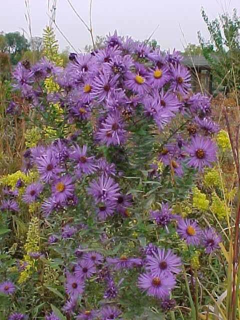 New England Aster Landscape St Louis By Missouri