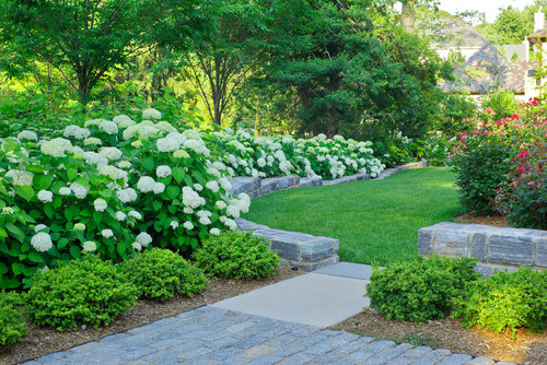 In praise of shy hydrangeas privilege for Houzz landscape architects