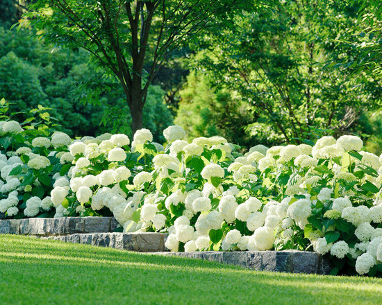 Annabelle Hydrangea Home Design Ideas Pictures Remodel