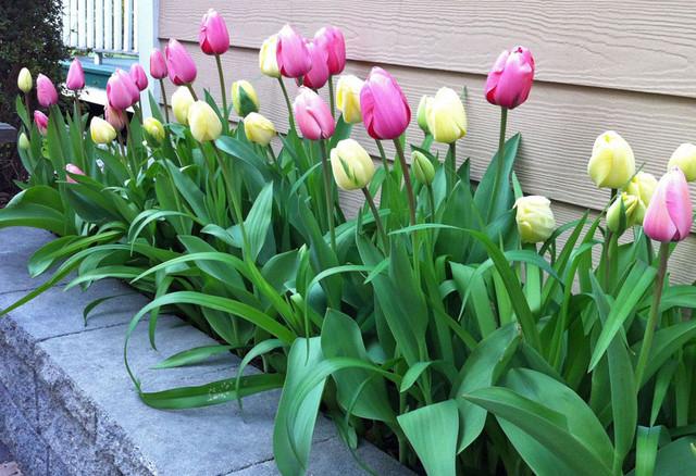 NY Landscape Design Tulip Bed Flowerbed Bulbs