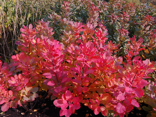 'Old Fashioned' smoke bush - Traditional - Landscape - other metro - by Concept Plants