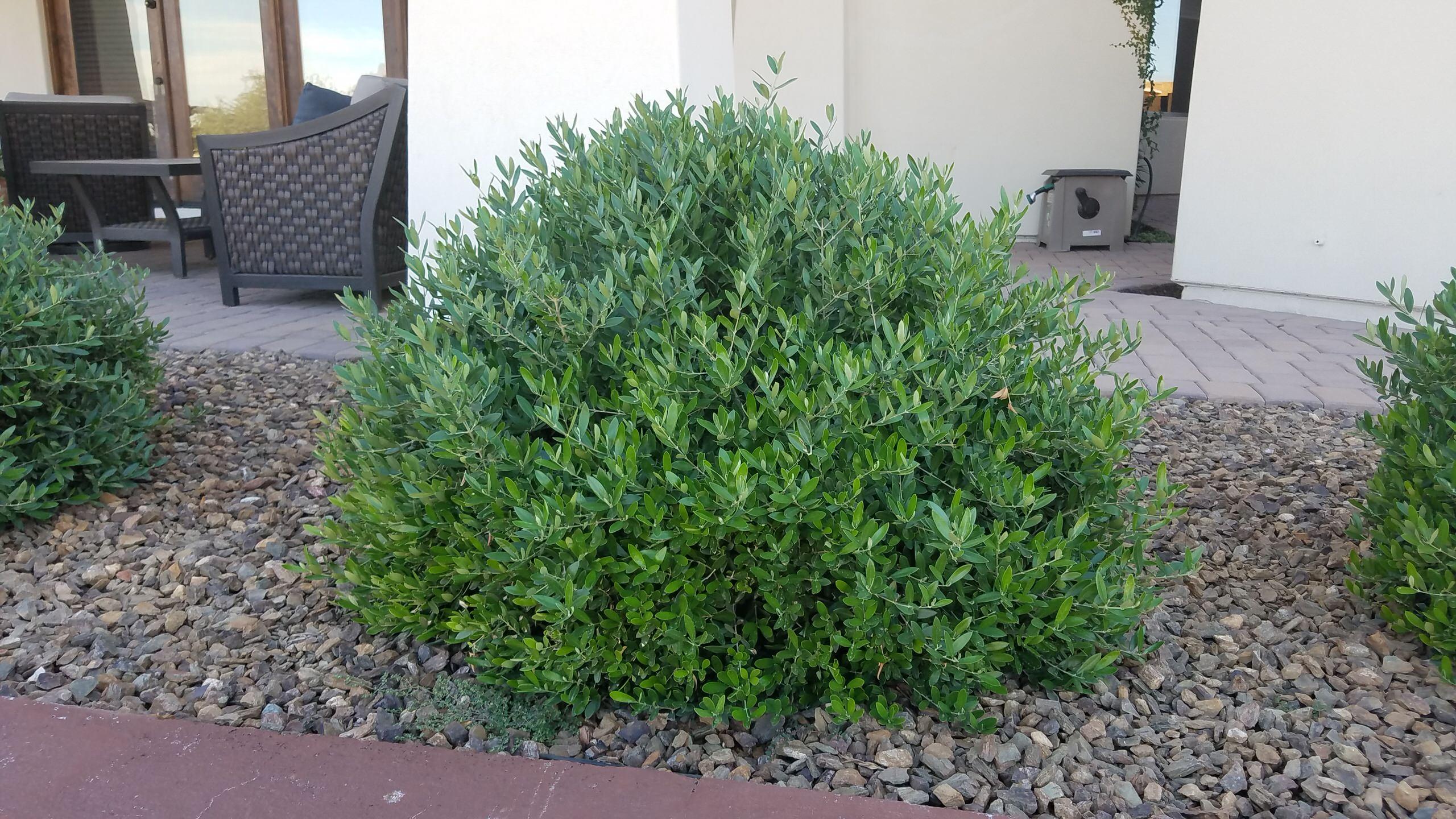 Olea europaea 'Montra'_ Little Ollie Dwarf Olive