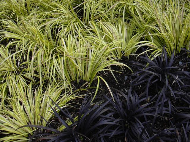 Ophiopogon planiscapus 'Nigrescens' - Landscape