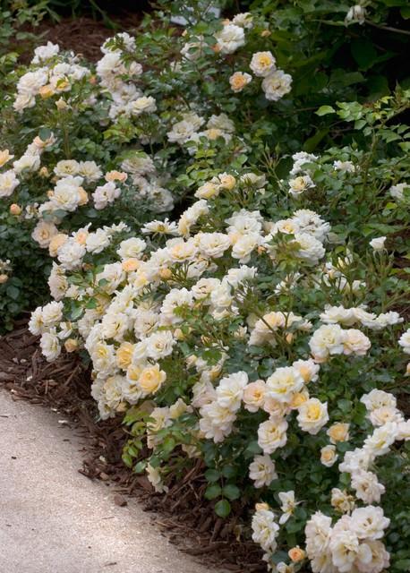 Oso Easy® Honey Bun Landscape Rose