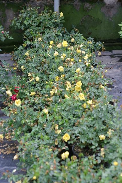 Oso Easy® Lemon Zest Landscape Roses traditional-landscape