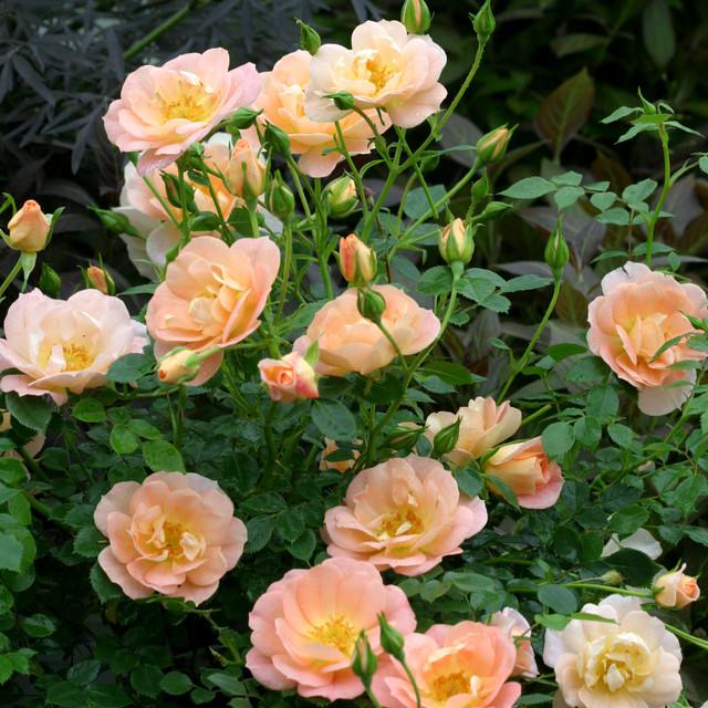 Oso Easy 174 Peachy Cream Landscape Rose Traditional