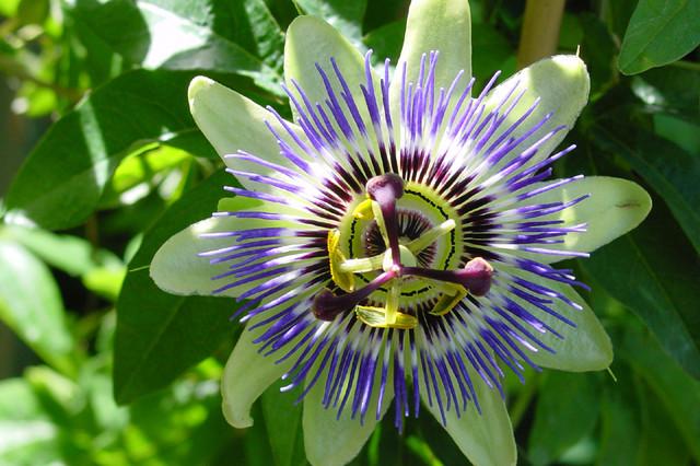 Passion Flower Vine Closeup Mediterranean Landscape