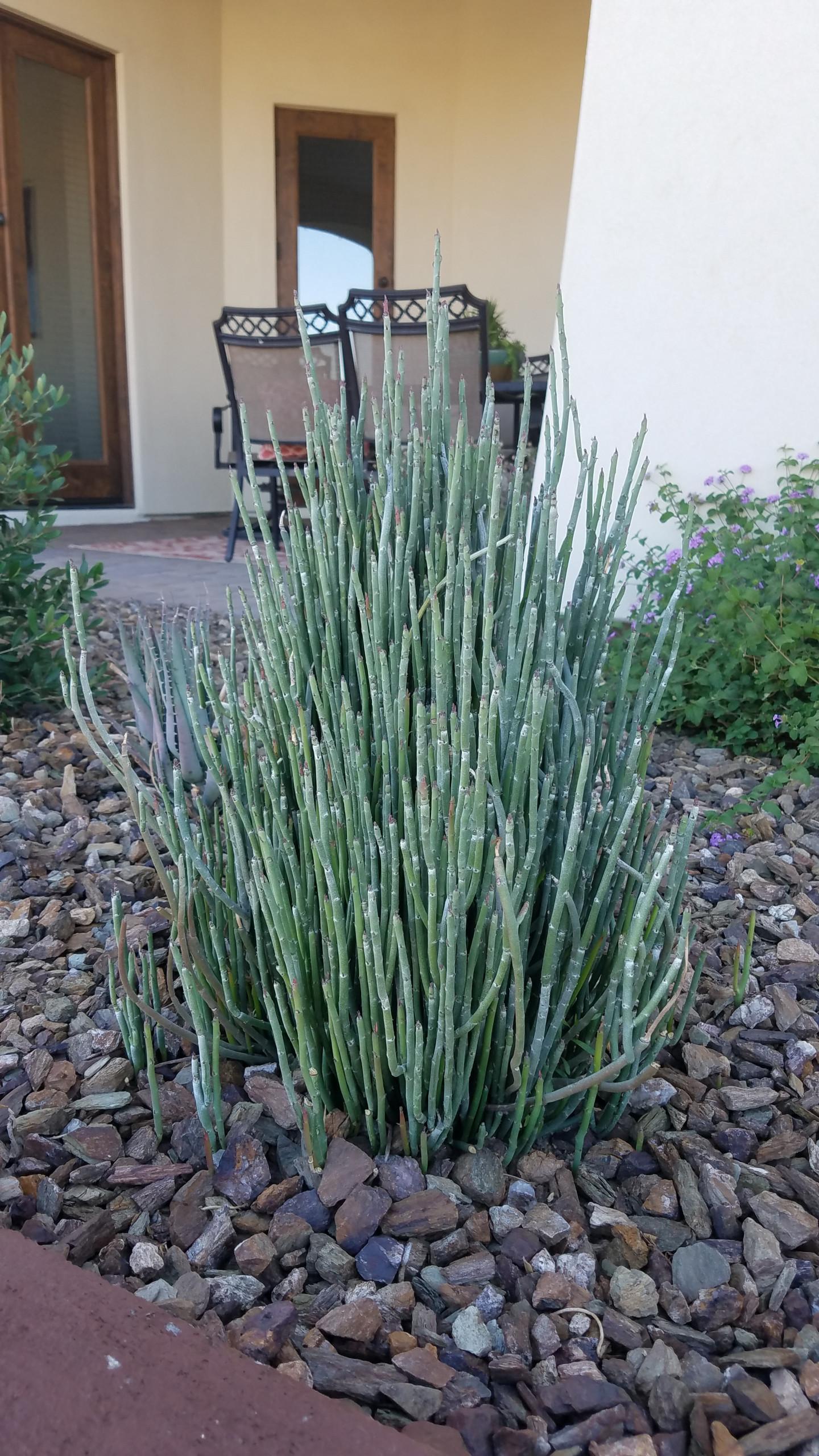 Pedilanthus macrocarpus_Slipper Plant