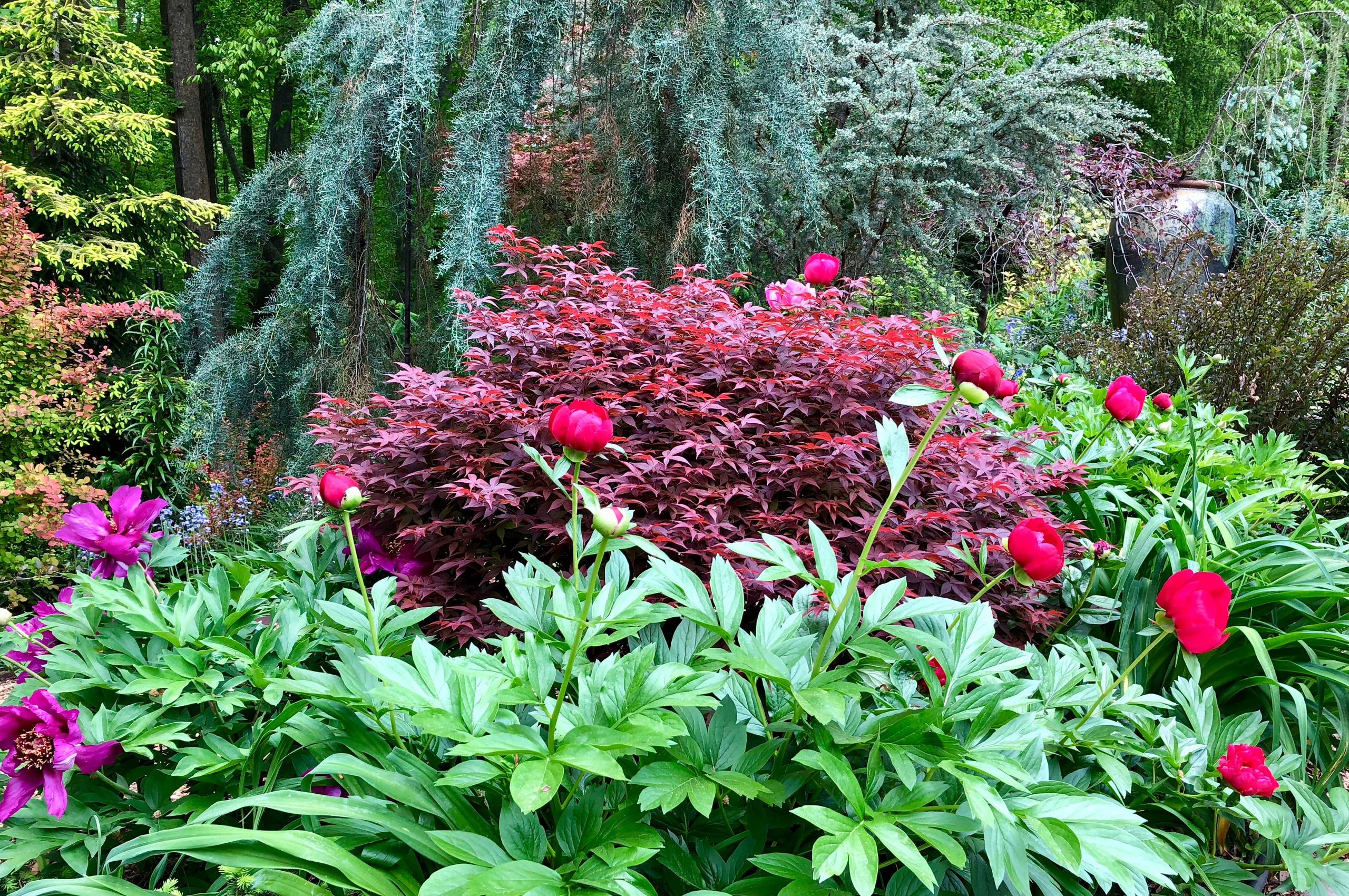 Peonies and Japanese maple in the front garden.