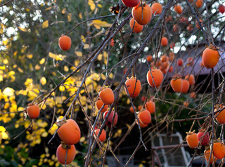 Persimmon Tree traditional-landscape