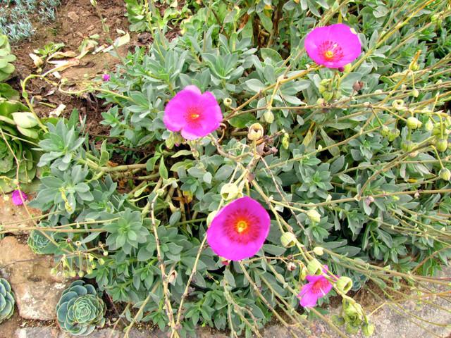 Pink blooming succulent landscape