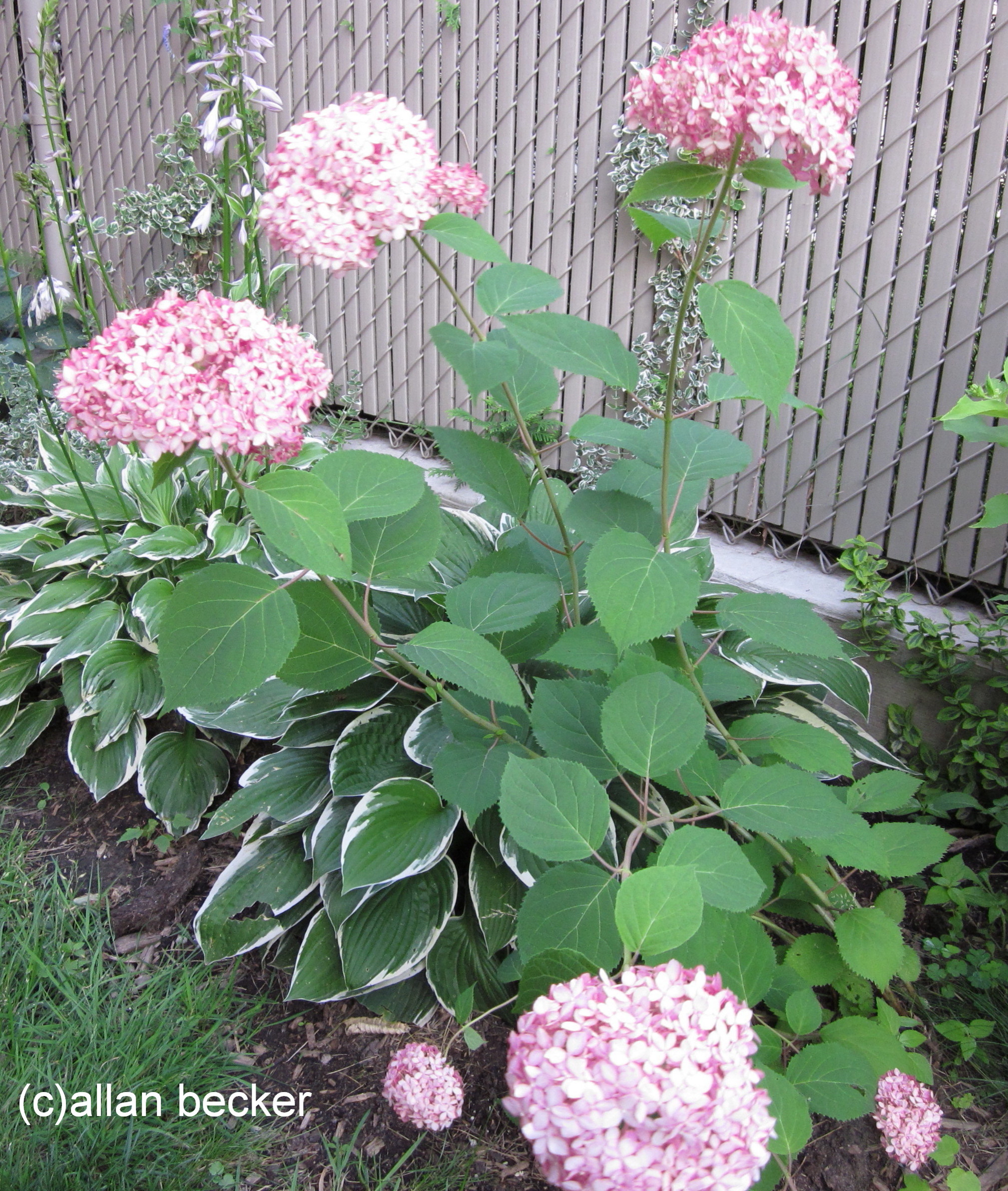 Pink is the favorite color in the flowerbed