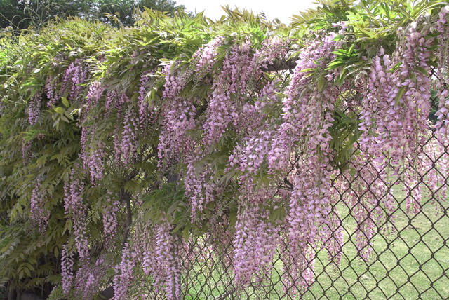 Pink Japanese Wisteria