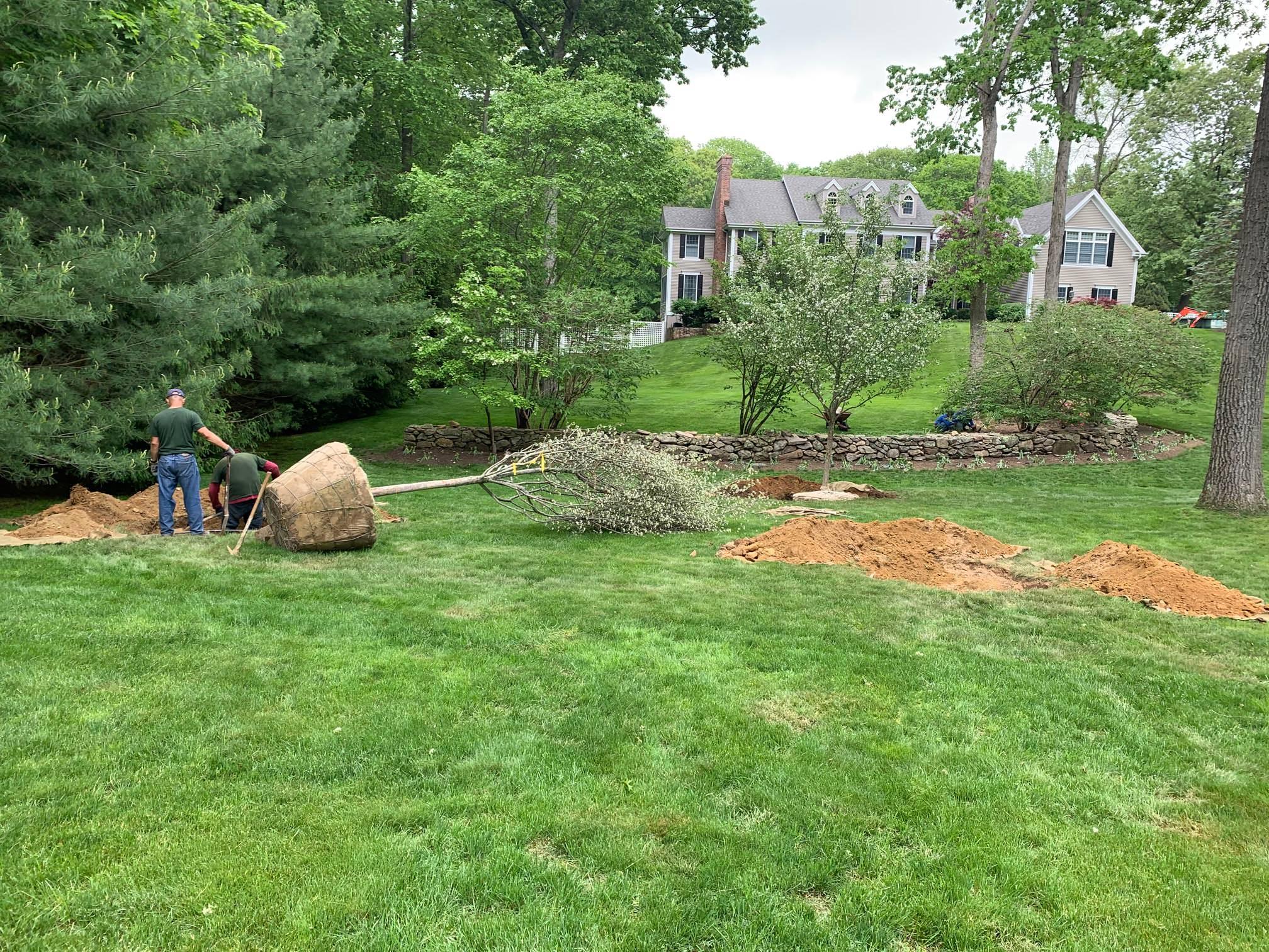Planting Washington Hawthorn Trees to form orchard